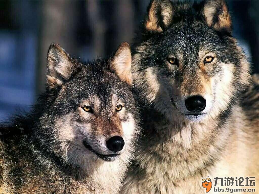 狼头像一对